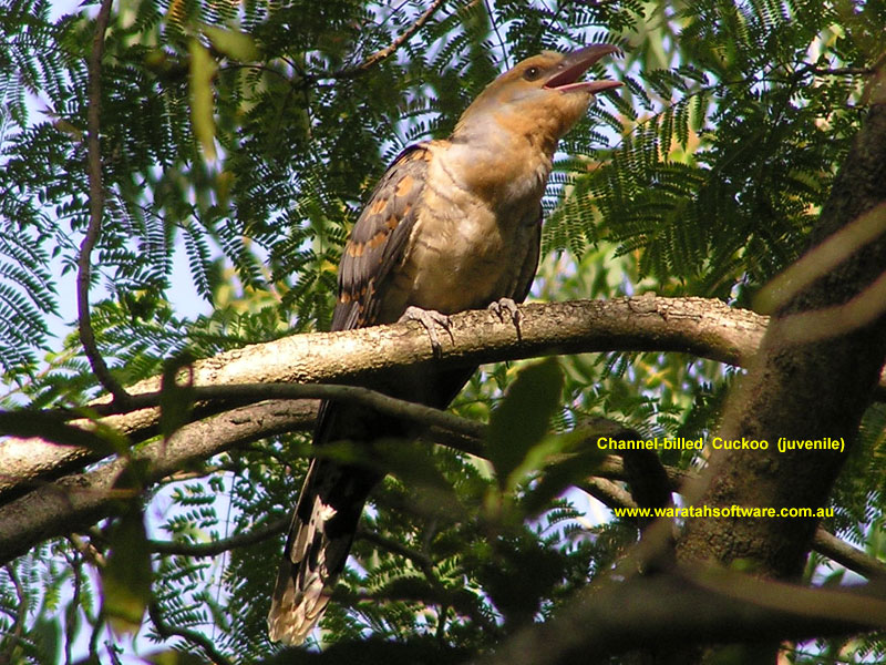 Channel-billed Cuckoo p1100035 image