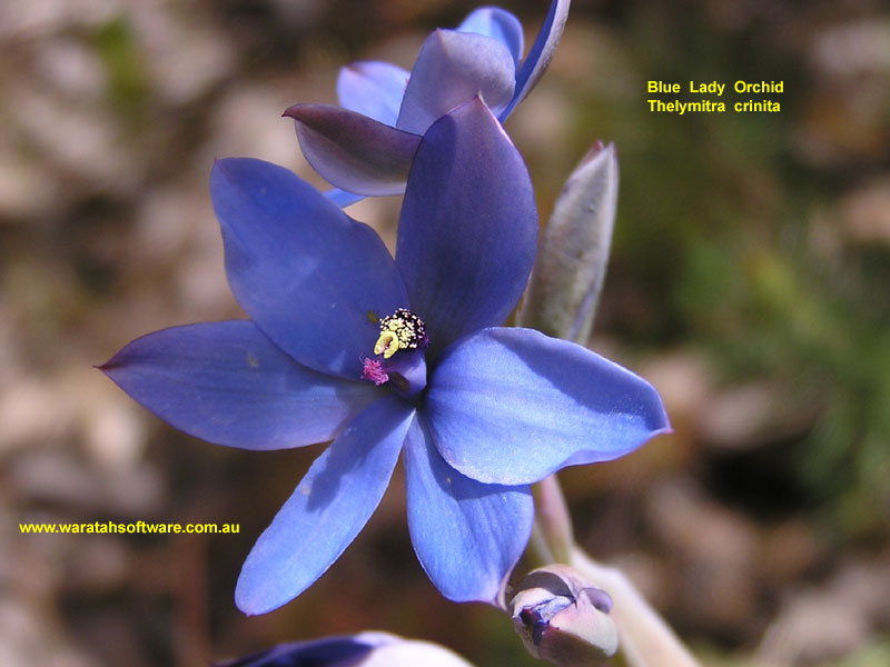 blue lady orchid pb010244 image