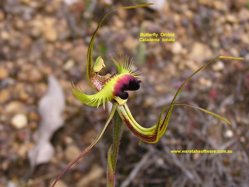 butterfly orchid pa220236 image