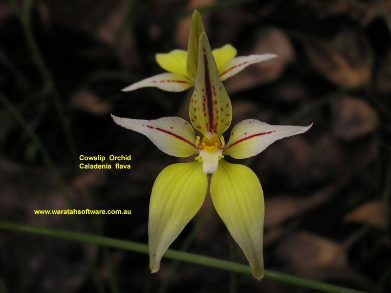 cowslip orchid pa270356 image