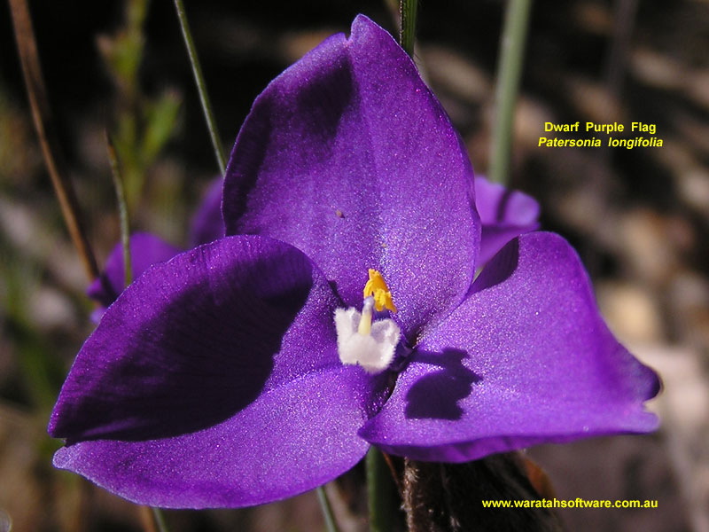 Dwarf Purple Flag pc040504 image