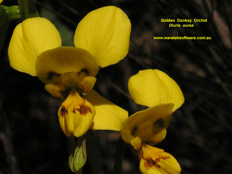 Golden Donkey Orchid pa010129 image