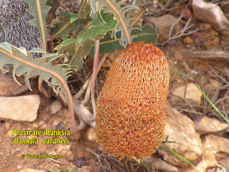 prostrate banksia pa220335 image