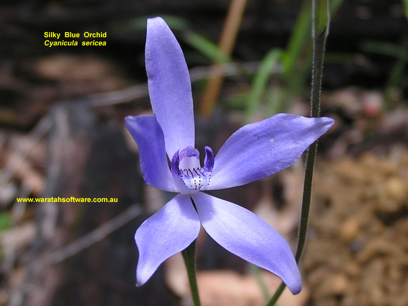 silky blue orchid pa260191 image