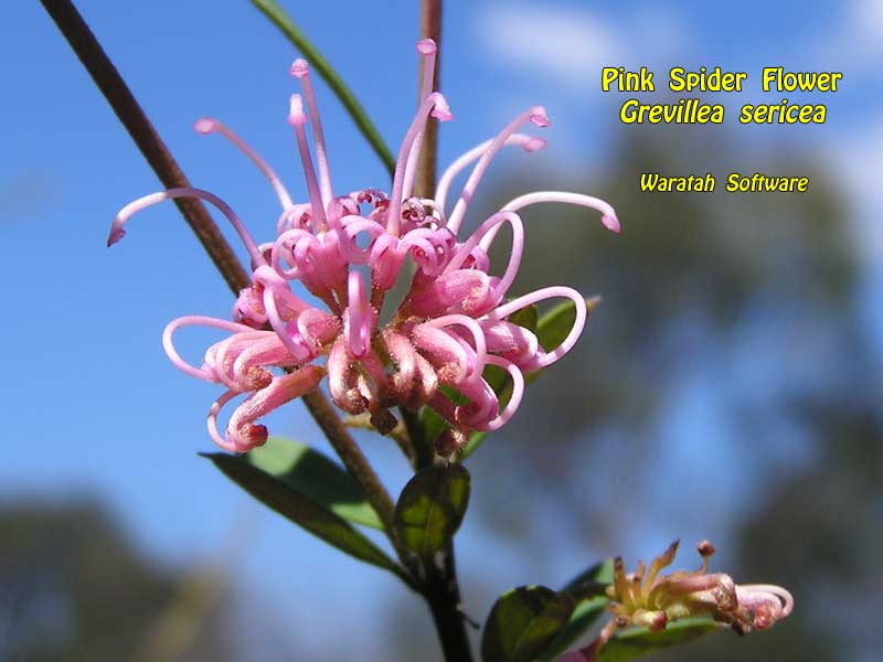 Pink Spider Flower pa040260 image