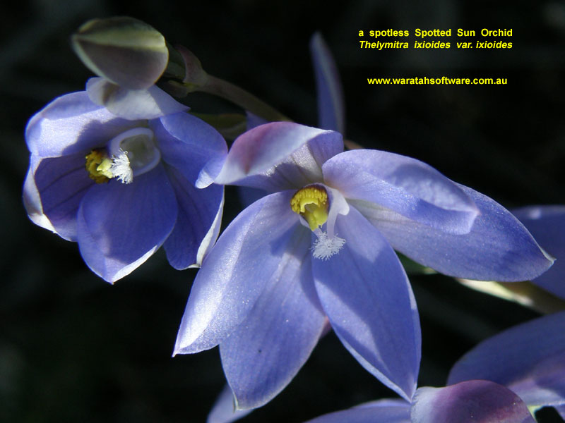 Spotted Sun Orchid p9020176 image