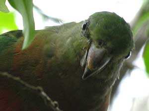 female or juvenile Australian King-Parrot