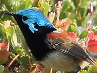 Red-winged Fairy-wren