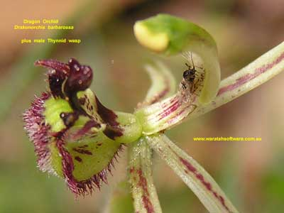 Dragon Orchid pa220184 96KB