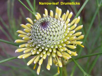 Narrow-leaf Drumsticks image p9230018 96KB