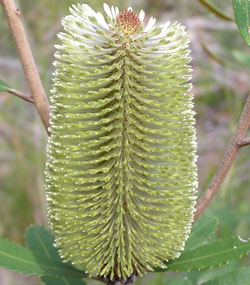 Fern-leaved Banksia