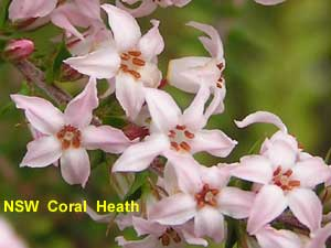 NSW Coral Heath