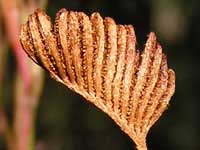 Forked Comb Fern