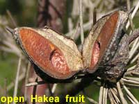 open Hakea fruit