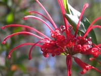 Red Spider Flower