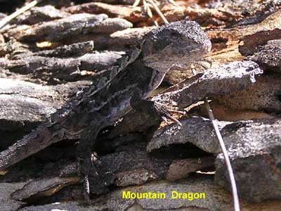Mountain Dragon
