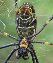 Golden Orb-weaving Spider/